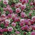 Roses Facebook Couverture 6 5000 Photos De Couverture Facebook