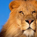 Lion - FB Cover 2 (4)