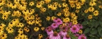 Timeline - Brown-Eyed Susans and Purple Cone Flowers