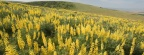 Timeline - Yellow Lupine, Emigrant Hill, Oregon
