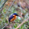 baby kingfisher-Facebook Cover