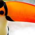 caribbean toucan-Facebook Cover