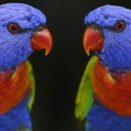 cute colour parrots-Facebook Cover