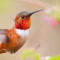 hummingbirds-Facebook Cover