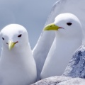 kittiwakes-Facebook Cover