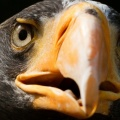 stellers sea eagle-Facebook Cover