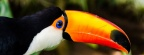 toucan 2Facebook Cover