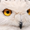 white owl 3-Facebook Cover