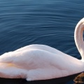 white swan in waterFacebook Cover