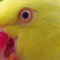 yellow parrot-Facebook Cover
