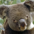 Cover FB  Koala in Eucalyptus Tree, Australia