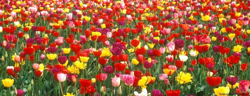 tulipes fleurs fb timeline 2 5000 photos de couverture facebook. Black Bedroom Furniture Sets. Home Design Ideas