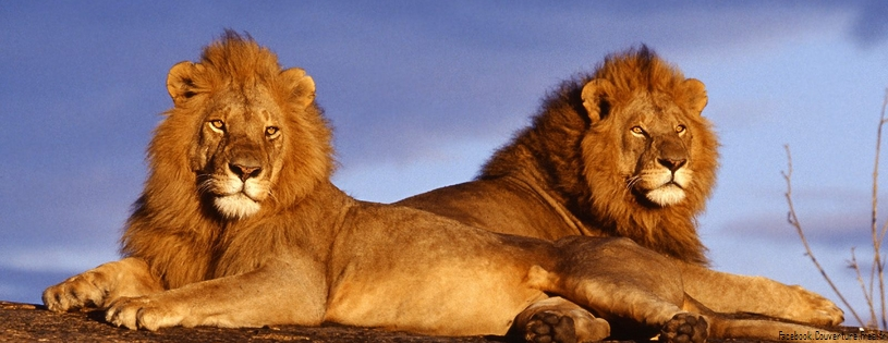 Lion - FB Cover 2 (9).jpg