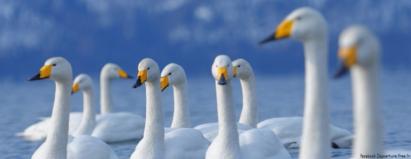 flock of swans-Facebook Cover
