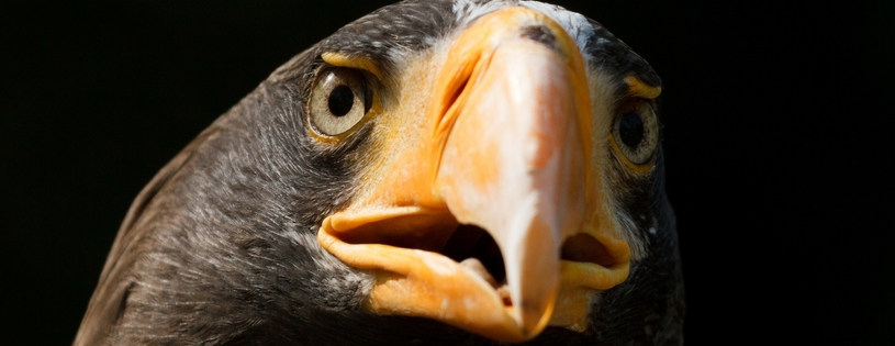 stellers_sea_eagle-Facebook_Cover.jpg