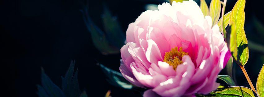 fleur rose printemps facebook 851x315 5000 photos de couverture facebook. Black Bedroom Furniture Sets. Home Design Ideas